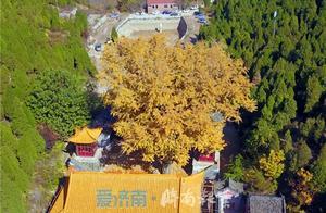 """满树黄金叶 遍地铺""""金毯""""…济南最美古老银杏树 已有1400余年历史"""