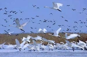 冬日精灵落凡间,湿地、湖泊舞翩跹