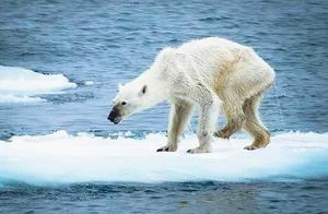 让人心酸!人类破坏的环境,让北极熊来还?冰川消融,数十头饥饿北极熊打劫垃圾车?