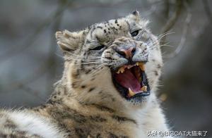 同是猫科豹属,为何雪豹只能嚎叫,却不能像狮子老虎那样咆哮?