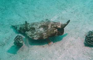 加勒比海除了海盗还有幽灵鱼!为填饱肚子海底步行两万里