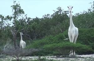 """传说中的""""白色长颈鹿""""被拍到了,画面让网友直呼:好像神兽啊"""