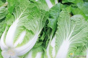 大白菜价格现低谷,菜农每亩亏损数百元(附最新行情)