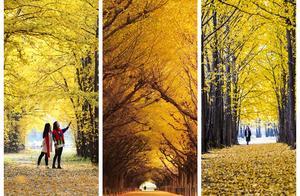 拍摄银杏树容易拍银杏林难!学习这些拍摄技巧,两者一样轻松拍
