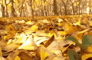 千年银杏,万种风情!西安向北0.5小时,最美的深秋景色回来了