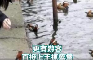 【8点见】游客过度投喂,撑死西湖鸳鸯
