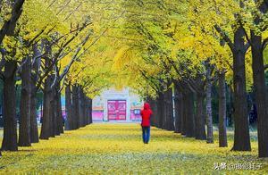 北京地坛秋意浓,黄金大道赏银杏,公园火了