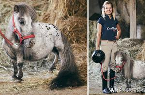 比灰狗还矮的世界上最小的马