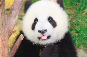 我国其实有两种大熊猫,一种像熊,一种像猫,已各自演化30万年