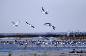 九原区:黄河岸边生态美 白芦漫漫 天鹅成群