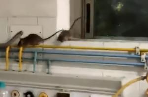 """印度老鼠比人多!ICU病房成老鼠""""家园"""",院方:已至少抓到50只"""