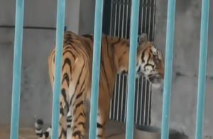 广州动物园的老虎,为何比猫还瘦?真相来了