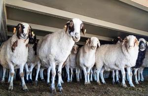 羊羊羊到武汉了