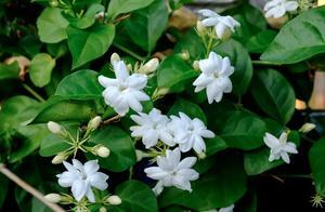 香气、茶叶伴侣、调味……茉莉,歌曲和茶杯中的优雅花朵