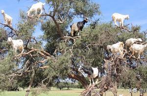 非洲摩洛哥坚果树上不仅长满了山羊,还能帮农民脱贫致富!