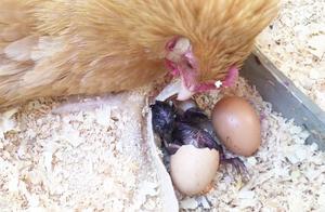 小鸡是如何从蛋中出来的,看完终于明白了!