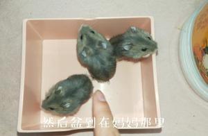 仓鼠用浴沙洗澡是本能还是后来学习呢?拿3只仓鼠做实验看个究竟
