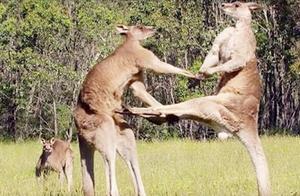 动物世界的拳击手!澳洲袋鼠天生就是满身肌肉,打架真猛