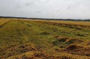江苏徐州,一夜暴风雨过后小麦扑倒一片,农民损失不小
