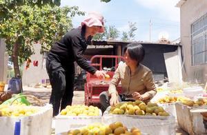 清香弟媳妇第一次摘黄杏,如此丰收稀罕的不能行,结果累的不成样