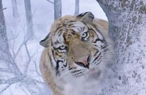 这才是森林之王,老虎威风不可触碰啊,爬树上也得咬你!