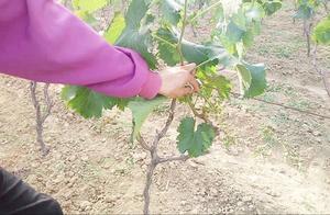 新栽葡萄树葡萄串要及时摘除掉,保树不保果