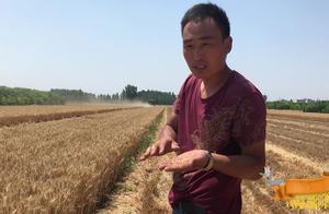 山东小麦涨价了吗?收粮华哥说出最新价格与行情,你觉得合理吗?