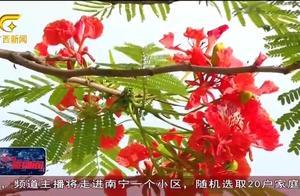 南宁:凤凰花开红似火