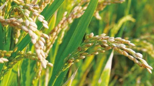 水稻赤枯病用什么农药