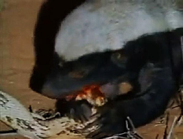 专注蜜獾三十年,头条第一网红平头哥在此,五毒教主,不服来战