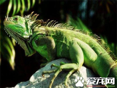 綠鬣蜥的生長速度 綠鬣蜥的生長速度迅速
