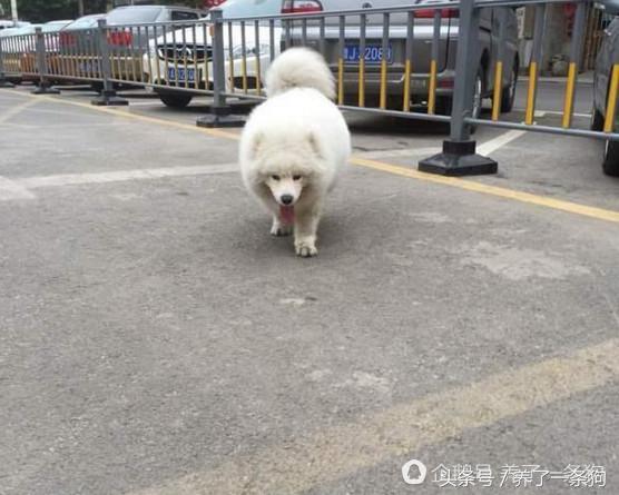 男子晒自家萨么耶,网友看后:大哥你这养的是北极熊吧