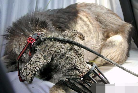 狗狗被遗弃数月患严重皮肤病,狗毛脱光瘦得骨头都看得见!