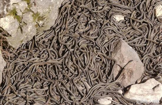 梦见一群蛇,是吉兆还是凶兆?
