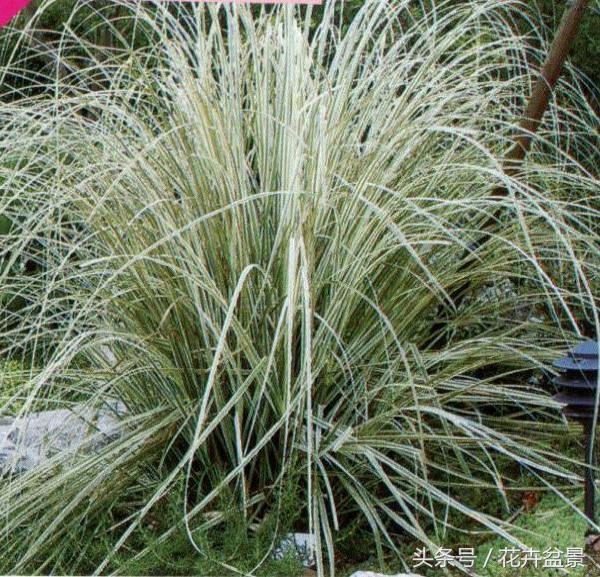 草,观赏草,养花不稀罕,养草才稀罕