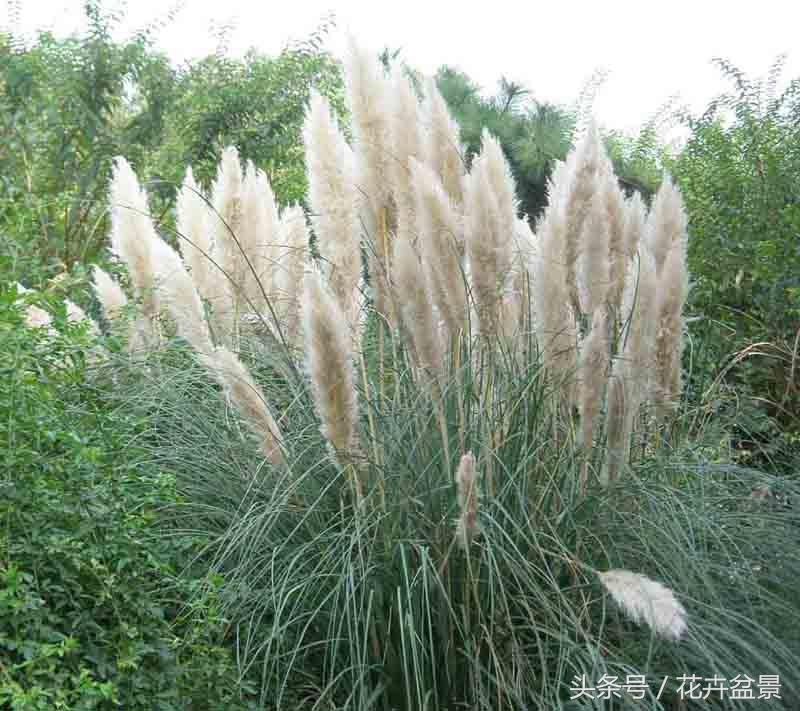 四川金叶苔草