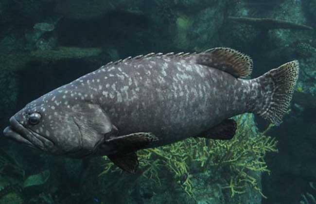 龙胆石斑鱼多少钱一斤 龙胆石斑鱼的营养价值
