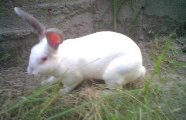 兔子怎样养不会死 兔子的饲养禁忌