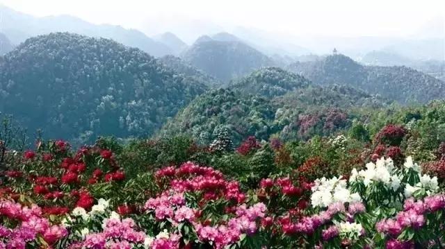 百里杜鹃国际杜鹃节开幕式,赏杜鹃祭花神震撼上演!