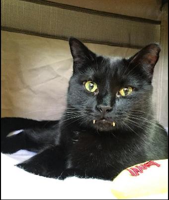 日本黑貓爆紅INS,因其吸血鬼外形成為網紅