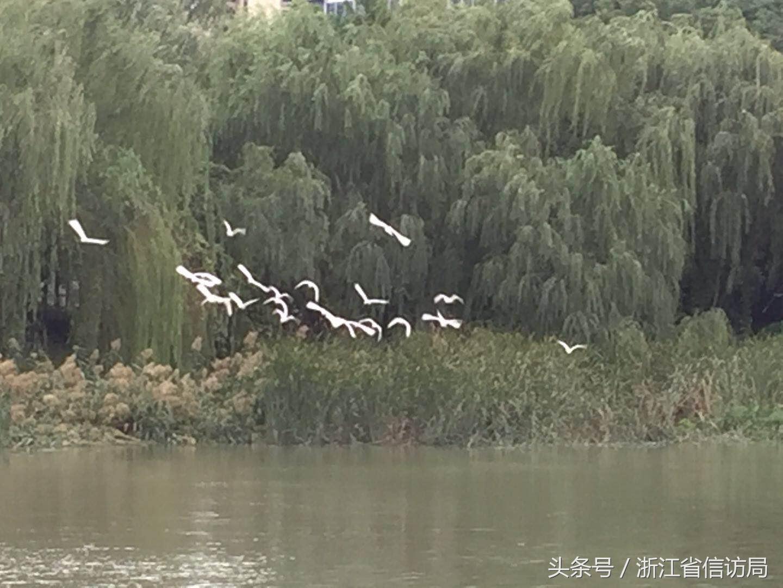 """台州12345热线接到""""白鹭扰民""""的投诉之后"""