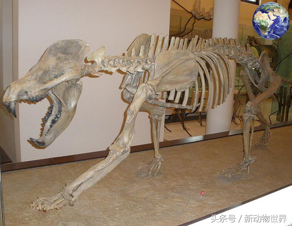犬熊图片:五千万年前熊族的一个分支