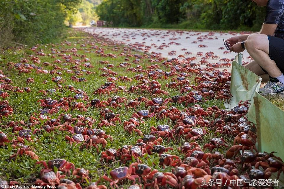 壮观!澳大利亚上千万只红蟹大迁徙,居民举动让人暖心