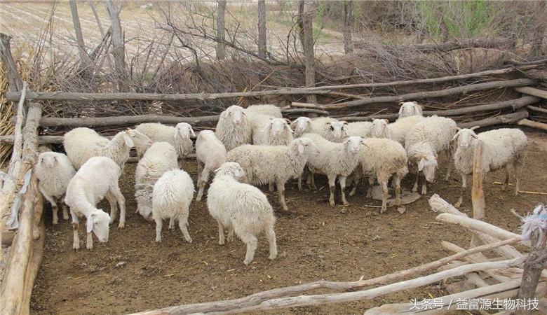 发酵玉米秸秆喂圈养羊,一直吃会不会营养不良?饲料怎么配比?