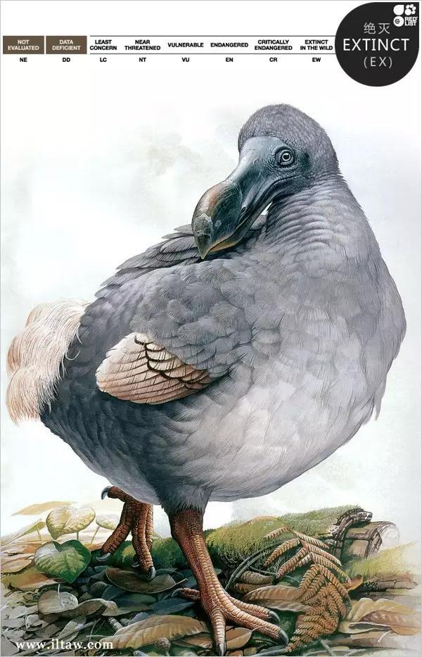 渡渡鸟图片及资料介绍02