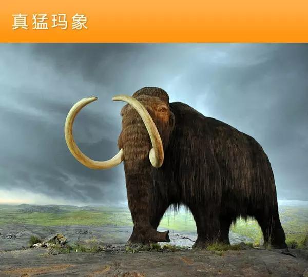 猛犸象的种类资料及图片03