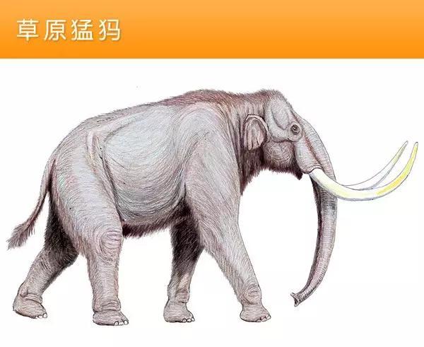 猛犸象的种类资料及图片17