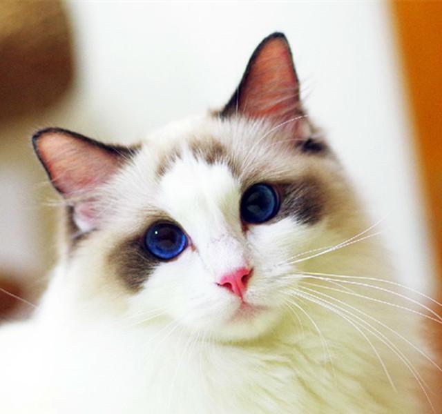 排行榜:世界11个最受欢迎的宠物猫,你家喵上榜了吗?