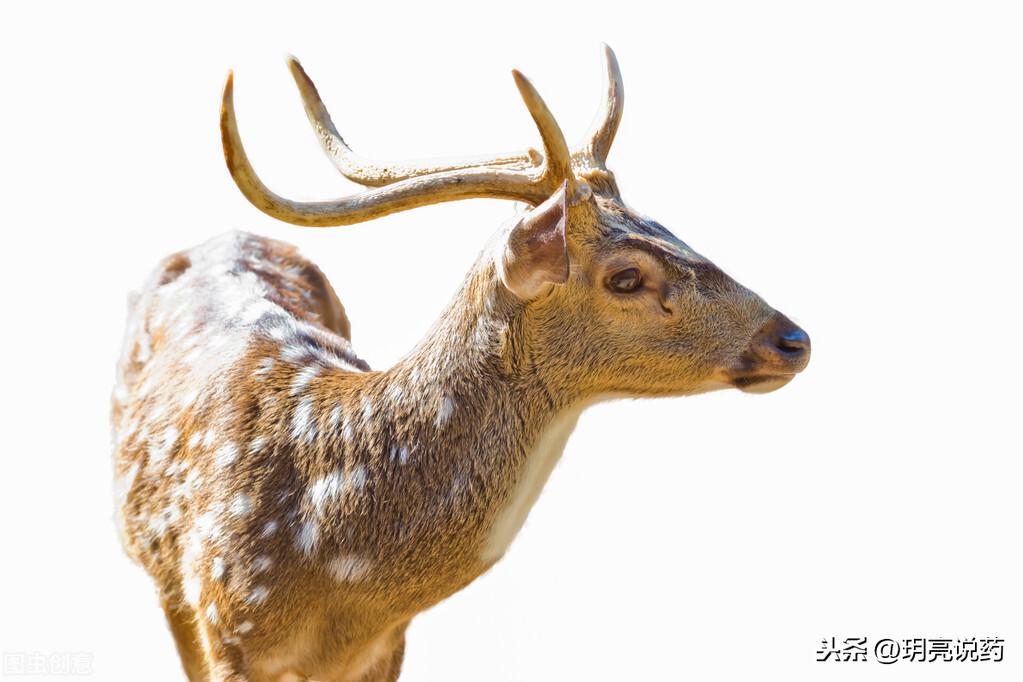 細數有關鹿的中成藥,各有什麼功效? 一文講解,收藏備用