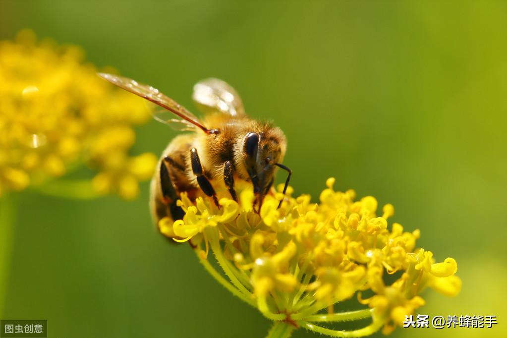 养蜂日历:蜜蜂收集花蜜的器官、方法以及花蜜如何加工成蜂蜜介绍